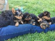 AKC registered yorkie puppies for adoption