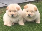 fgsdr chow chow puppies For Sale