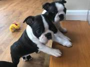 Boston Terrier puppies for december