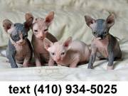 Exceptional sphynx kittens for sale.