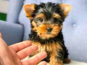 Teddy bear yorkie puppies $$ 390