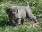 Neapolitan Mastiff Puppies Available..