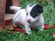 Afectionate Boston Terrier Puppies...