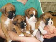 Two Friendly Boxer Puppies Available..