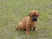Cutie Bullmastiff Puppies Ready..