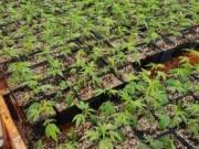 Medical Marijuana Grate AAA+ Top Shelf indoors, outdoors and others//4086348885