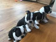 rzeytru  Stunning BOSTON TERRIER puppies available for new home