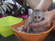 Baby capuchin monkeys for sale at affordable price