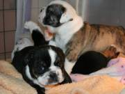 Fantastic litter of Engglish  bulldog pups available to reserve