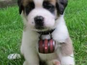 ????10 weeks , Male and Female Saint Bernard puppies Ready