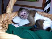 male and female Capuchin monkeys available for adoption