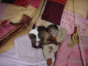 Home Raised Capuchin monkeys available for adoption  call/textus @ 484-466-6216