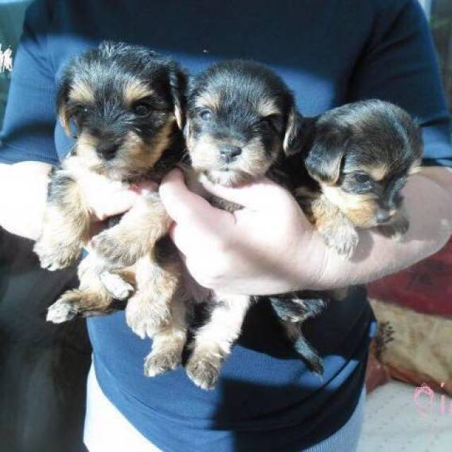 Tea Cup Yorkie Puppies For Adoption 402 295 5499 Indianapolis