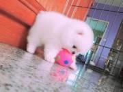 Gorgeous Purebred Mini Pomeranian pups.