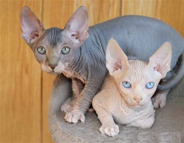 Lovely Sphynx Kittens For Sale - Sacramento - Animal, Pet