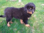 RESPONSIBLE HOMES ONLY!!!Tibetan Mastiff Puppies For Sale