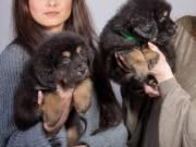 100% Pure Tibetan Mastiff Puppies AKC registered