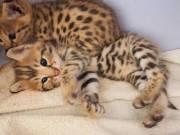 Lovely Cute Male and Female savannah Kittens Ready