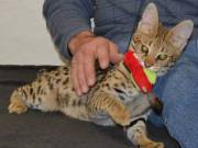 Golden male and female F1, savannah kitten for sale
