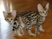 Golden male and female F1, savannah kitten for sale