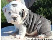 Wonderful English Bulldog Puppies