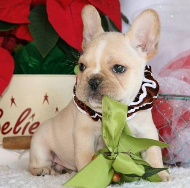 Affordable French Bulldog Puppies For Sale - Fort Worth, Denton