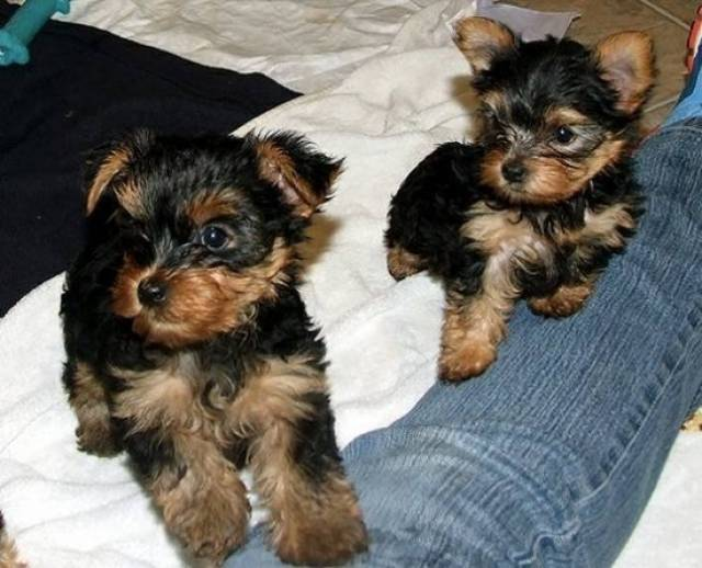 Male and Female Yorkie Puppies SALE - Daytona Beach - Animal