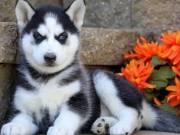 Gorgeous Siberian husky puppies