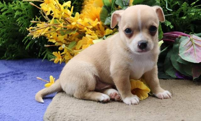 Two Adorable Chihuahua Puppies For Sale New York Animal Pet