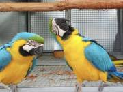 BLUE AND GOLD MACAWS PARROTS READY NOW