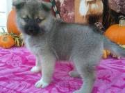 Adorable Pomsky Puppies