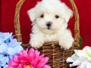 Adorable ❤️❤️Maltese Puppies❤️❤️ (973) 559 - 3758