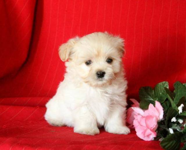Beautiful Havanese Maltese Mix Puppies