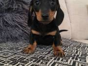 Friendly and intelligent Dachshund puppies available now