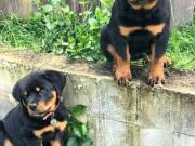 Rottweiler Puppies For Sale AKC Registered Available Now!