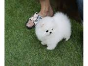 Tea Cup Pomeranian Puppies For You - For sale
