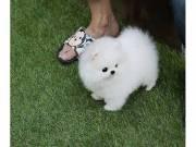 Wonderful teacup tiny Pomeranian