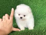 Adorable micro tiny Pomeranian Puppies - For sale