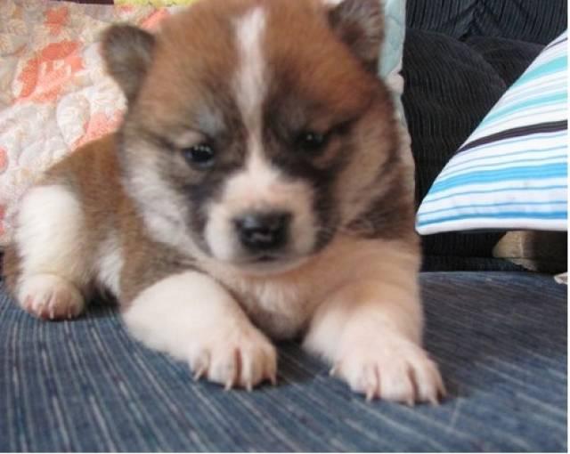 Puppies For Sale In Albuquerque >> Lovable Shiba Inu Puppies For Sale Albuquerque Animal Pet