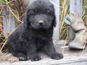 Newfoundland puppies.
