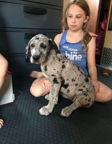 Adorable Great Dane Puppies Albuquerque Animal Pet
