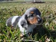Wonderful Dachshund puppies girl and boy ready now