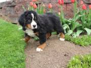 Bernese Mountain Dog Puppies Ready Now