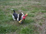 AKC Reg Basset Hound Puppies