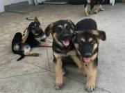 Beautiful German Sherpherd Puppies