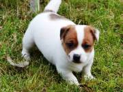 Parson Jack Russell For Sale