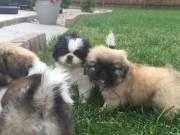 Gorgeous Pekingese Pups For Sale