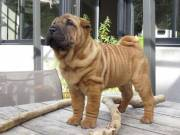 Purebred Chinese Shar Pei puppies for sale