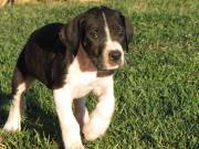 Great Dane puppies available.