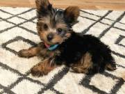Companion Yorkshire terrier Puppies For Sale.